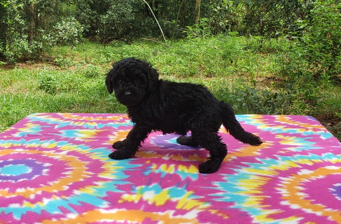 Available Puppies - Pine Ridge Doodles