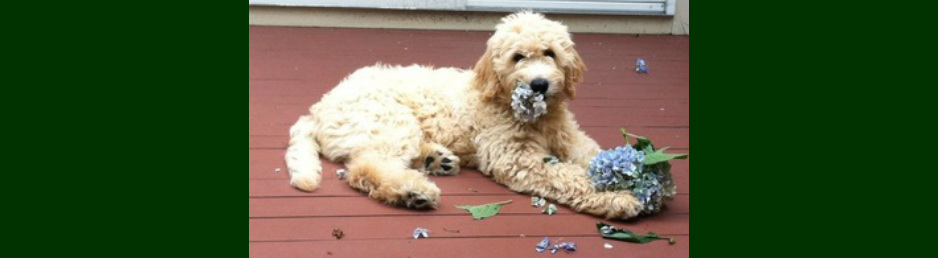 Pine Ridge Doodles - F1 English Cream & American Goldendoodles